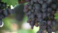 bunches of ripe grapes in the vineyard. winemaking, grape harvest - stock footage