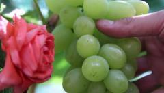 beautiful green grapes. Vineyard, winemaking, grape harvest - stock footage