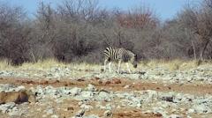 Lion hunts Zebra in Etosha, Namibia, Africa. Stock Footage