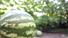 garden with watermelons and grapes. Vineyard, winemaking, grape harvest - stock footage