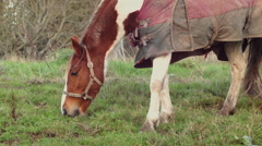 A beautiful Horse in the Irish Countryside - stock footage