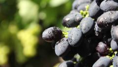 Bunches of grapes under the Sun. Vineyard, winemaking, grape harvest Stock Footage