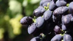 Bunches of green and red grapes. Vineyard, winemaking, grape harvest Stock Footage