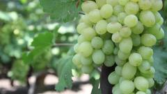 Bunches of green grapes. Vineyard, winemaking, grape harvest Stock Footage