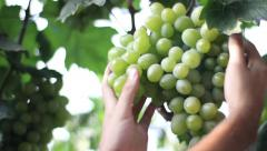 hands take a large bunch of grapes. Vineyard, winemaking, grape harvest - stock footage