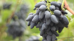 bunches of ripe grapes. Vineyard, winemaking, grape harvest - stock footage