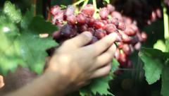 red grapes in the hands. Vineyard, winemaking, grape harvest - stock footage