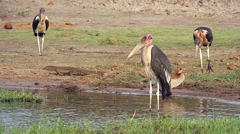 Storks harass lizard in Botswana, Africa. Stock Footage