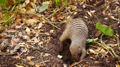 Banded Mongoose digging for insects in Botswana, Africa. - stock footage