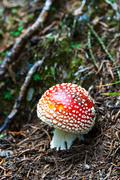 Red and White Poisonous Amanita Mushroom - stock photo