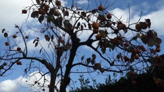 Hungry starlings eating persimmons Stock Footage