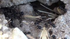 4K Macro Ants Working Gathering Food, Ant Hill, Team Workers Insects in Hive - stock footage