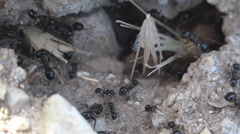 Macro Ants Working Gathering Food for Winter, Ant Hill, Workers Insects in Hive Stock Footage