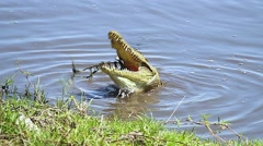 Nile Crocodile eats fish in Chobe River, Botswana, Africa. - stock footage