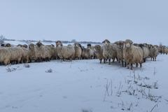 Flock of sheep in winter Stock Photos