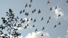 A flock of birds fly across camera - slow motion - stock footage