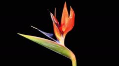 Blooming Strelitzia flower buds ALPHA matte, FULL HD Stock Footage