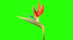 Blooming Strelitzia flower buds green screen, FULL HD Stock Footage
