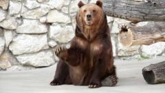 Full length portrait of a sitting brown bear female and lifting her paw. - stock footage
