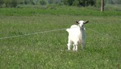 Billy Goat, Kid Looking at Camera, Lambkin, Goatling Grazing Meadow, Farming 4K - stock footage
