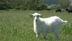 Billy Goat, Kid Looking at Camera, Lambkin, Goatling Grazing Meadow, Farming 4K Stock Footage