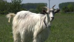 Eating Goat, Kid Looking at Camera, Lambkin, Goatling Grazing Meadow, Farming 4K - stock footage