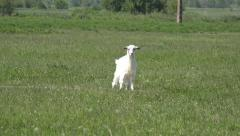 Billy Goat, Kid Looking at Camera, Lambkin, Goatling Grazing on Meadow, Farming - stock footage