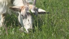 Close up Eating Goat, Lambkin, Head Goatling Grazing on Meadow, Farming - stock footage