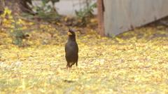 """Myna"" birds are eating food, breeding season - stock footage"