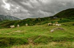 Cows on the pyrenees mountains in France Stock Photos