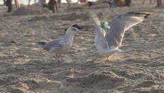 Seagulls fight on a beach in slow motion. Stock Footage