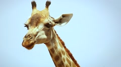 Reticulated Giraffe chewing leaves in Botswana, Africa. Stock Footage