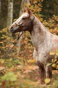 Nice appaloosa mare in autumn forest Stock Photos