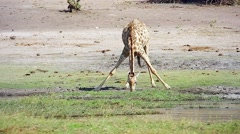 Reticulated Giraffe drinking water in Botswana, Africa. - stock footage