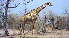 Reticulated Giraffe in Botswana, Africa. Stock Footage