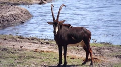 A Sable Antelope male in Chobe River, Botswana, Africa. Stock Footage