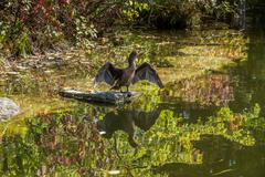double crested cormorant - stock photo