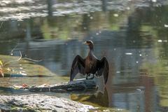 Double crested cormorant Stock Photos