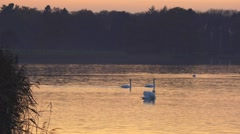 Wildlife swans swimming tranquil golden lake at sundown Stock Footage