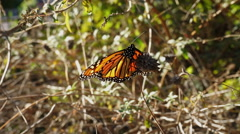 Orange and Black Monarch Butterfly taking flight from branch Stock Footage