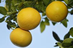 3 ripe grapefruit in the sun - stock photo