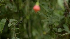 Hummingbird. Violet-fronted brilliant. 1of3 leaves perch. Stock Footage