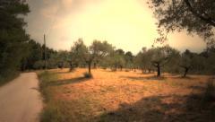 Mediterranean olive field Stock Footage