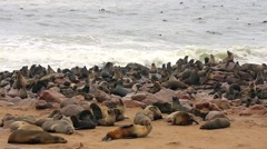 Cape Fur Seals in Namibia, Africa. Hundreds on shore & swimming in ocean. Stock Footage