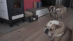 Three English Bulldog together indoor Stock Footage