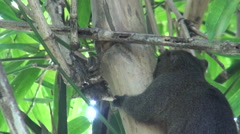 Pallas's squirrel on bamboo Stock Footage