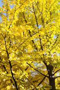 Autumn Ginkgo Leaves - stock photo