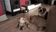 Three English Bulldog relaxing indoor Stock Footage