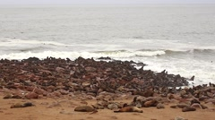 Cape Fur Seals in Namibia, Africa. Hundreds on shore & swimming in ocean. - stock footage