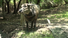 Water buffalo and little egret Stock Footage